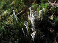 Cladonia pyxidata, I think. (chaerea) Tags: algae apothecia bc bryophyte canada cladonia forest forestfloor fungi lichen moss mycology nature woodland