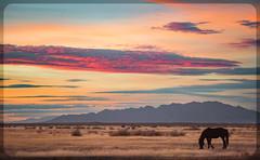wild Horse sunset (Jami Bollschweiler Photography) Tags: wild horses sunset utah onaqui herd wildlife mare stallion fighting filly running black white sepia looking great basin photographer