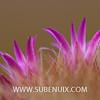 Mammillaria zeilmanniana (SUBENUIX) Tags: cactaceae mammillariazeilmanniana suculentas subenuix subenuixcom planta suculent suculenta botanic botanical