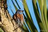 Western Bluebird (m) (Bob Gunderson) Tags: birds bluebirds california fortmason northerncalifornia sanfrancisco sialiamexicana thrushes westernbluebird
