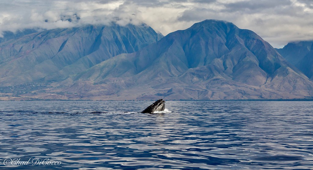 Humpback whale with Maui mountain backdrop