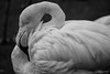 Danish Flamingos (virtualwayfarer) Tags: copenhagen zoo animals kobenhavn kbh cph visitdenmark visitcopenhagen tourism attractions lenstest flamingo flamingos bird birds feathered pinkbird pink sonya7rii sony70300 alexberger travelphotography animalphotography
