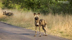African Wild Dog - Kruger National Park (BenSMontgomery) Tags: african wild dog kruger national park painted hunting south africa wildlife sanpark