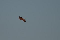 Short-eared Owl (sjdavies1969) Tags: strigidae birds animals vertebrates shortearedowl animalia asioflammeus owls