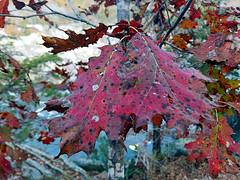 Oak Colors (EmperorNorton47) Tags: greatfallspark fairfaxcounty virginia photo digital autumn fall fallcolor autumncolor oak autumnleaves leaves quercusrubra
