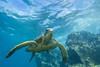 turtle7Nov18-17 (divindk) Tags: cheloniamydas hawaii hawaiianislands maui underwater diverdoug endangeredspecies greenseaturtle marine ocean reef sea seaturtle turtle underwaterphotography