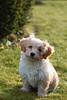 *Milo* (Explore) (Nicola G. Fotografie) Tags: hund welpe havaneser haustier havanese havanaise chiot chien pet dog petit little cute puppy