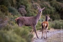 Au détour du chemin... (Yvann Krupa) Tags: cervuselaphus pyrenees nature chasse biche pyreneesorientales cerf