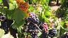 Grapes (PDX Bailey) Tags: grapes napa valley california flower leaf leaves green purple