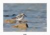 Bécasseau Sanderling (gilbert.calatayud) Tags: bécasseausanderling calidrisalba charadriiformes sanderling scolopacidés bird oiseau ile d oléron