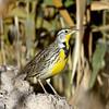 Western Meadowlark (Ed Sivon) Tags: america canon nature lasvegas wildlife wild western southwest desert clarkcounty clark vegas bird henderson nevada nevadadesert park