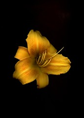 58702.01 Hemerocallis (horticultural art) Tags: horticulturalart hemerocallis daylily flower botanical