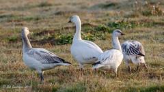 Snow Geese (Bob Gunderson) Tags: alamedacounty arrowheadmarsh birds california chencaerulescens eastbay geese northerncalifornia snowgoose