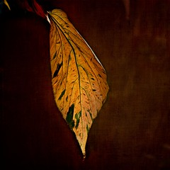 The Final Curtain (Christina's World-) Tags: tree leaf leaves nature color bright square blackbackground artistic colorful creative dramatic dusk digitalpainting exotic exoticimage macro