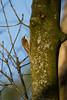 tree creeper (jon lees) Tags: park londonderry newtownards countydown northernireland woodlandbird foraging