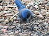 Hungry Scrub-Jay (thomasgorman1) Tags: ground nature birds jay scrubjay southwest canon outdoors nm blue