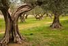 oliveta (lotti roberto) Tags: umbria trasimeno uliveta castigliondellago trees alberi rural fuji xpro2