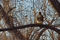 Red-tailed Hawk (Buteo jamaicensis) immature.  Bosque del Apache National Wildlife Refuge, New Mexico, USA. (cbrozek21) Tags: redtailedhawk buteojamaicensis bosquedelapache