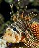Lionfish - Pterois miles (HGHjim) Tags: lionfish pterois zebrafish firefish turkeyfish tastyfish butterflycod venomous marine fish marinefish pteroismiles commonlionfish devilfirefish