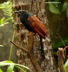 IMG_7104 Greater Coucal (Centropus sinensis) (vlupadya) Tags: greatnature animal aves fauna indianbirds greater coucal k centropus kundapura karnataka