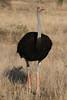 Struthio camelus ♂ (Common Ostrich) Breeding - South Africa. (Nick Dean1) Tags: struthiocamelus commonostrich animalia chordata aves ostrich thewonderfulworldofbirds birdperfect birdwatcher bird krugernationalpark southafrica canon satara
