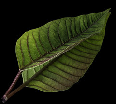 Reflecting On A Poinsettia Leaf (Bill Gracey 17 Million Views) Tags: green blackbackground poinsettialeaf leaf leaves offcameraflash yongnuo yongnuorf603n homestudio mirror reflection shapes shadows textures diagonal composition macrolens lighting griddedsoftbox nature naturalbeauty lakeside