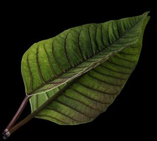 Reflecting On A Poinsettia Leaf