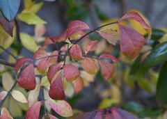 DSC07207 (Old Lenses New Camera) Tags: sony a7r olympus zuiko macro automacro 50mm f2 plants garden leaves azalea autumn