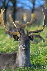 Deer in Phoenix Park (Dublin) (rickybon) Tags: phoenix park dublin ireland deer nature animals pentaxart pentaxflickraward pentaxk5 pentax k5 riccardobonelli