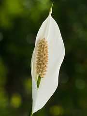 White Peace Lily (Connie Kerr) Tags: farnorthqueensland peacelily queensland white whitepeacelily anther bloom closeup flora floral flower flowerhead flowering floweringplant garden green nature one oneflower petal plant plants potplant pottedplant pretty single singleflower