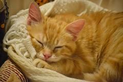 Spritz (En memoria de Zarpazos, mi valiente y mimoso tigre) Tags: kittenorange gingercat spritz miciorosso gatitonaranja pelirrojo gatto gato gatito gatodurmiendo kitten cat kitty micio katze chat neko ginger orangetabbymiciorossospritz spritzeddu chatonroux
