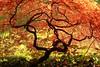 L'arbre de feu. /  The fire tree. (aragache) Tags: canon 660d sigma automne autumn fall feu fire érable saison parc nature rouge red orange