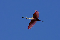 Roseate Spoonbills (c) 2017 Dr. Lester Shalloway, all rights reserved, at Paurotis Pond in the South Everglades