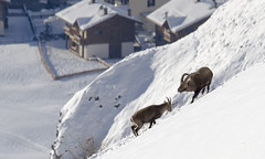 Just above the village (quanuaua) Tags: ifttt 500px winter italy snow mountain wildlife december alps alpine wild animals range nature photograph photo cold temperature capra ibex pics stambecchi livigno stambecco photos mating period