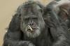 chimpanzee Burgerszoo BB2A6381 (j.a.kok) Tags: chimpansee chimpanzee animal aap ape burgerszoo mammal monkey mensaap pantroglodytes primaat primate africa afrika zoogdier dier