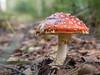 Fliegenpilz (Meinersmann, Thomas) Tags: 1240mm128pro nsgvennermoor omdem5markii olympus september2017 thomasmeinersmann amanitamuscaria fliegenpilz natur mushroom macrounlimited