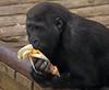 western lowlandgorilla Burgerszoo BB2A5941 (j.a.kok) Tags: gorilla westelijkelaaglandgorilla westernlowlandgorilla lowlandgorilla laaglandgorilla aap animal ape burgerszoo mammal monkey mensaap zoogdier dier africa afrika
