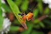Araneidae (Alvaro_L) Tags: telaorbicular orbweaver tela comiendo araneidae araña spider