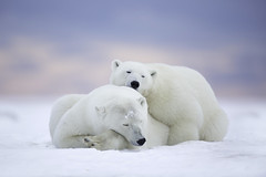 Polar Bears at Dawn (www.studebakerstudio.com) Tags: bear polarbear alaska snuggle cuddle love snow arctic anwr studebaker
