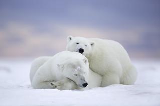 Polar Bears at Dawn