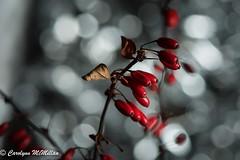 Berberis Berry Bokeh for Macro Mondays  EXPLORE (Carolynn McMillan) Tags: bokeh macromondays berberis red berries