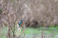 Common Kingfisher (Alcedo atthis) (jhureley1977) Tags: birds birdsofbritain birding hemelbirding hemelhempstead ashjhureley avibase naturesvoice bbcspringwatch rspbbirders ashutoshjhureley britishbirds boxmoortrust boxmoor commonkingfisher alcedoatthis