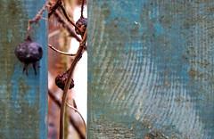 purple (Rosmarie Voegtli) Tags: fence berries arlesheim purple odc ourdailychallenge inexplore