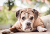 Nina (Vinicius_Ldna) Tags: 4434 nina dog pet love care caress cachorro boxer bokeh dof canon 50mm londrina brazil