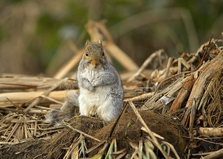 Grey Squirrel DSC_4645