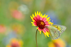 Bringing Back the Spring (NaturalLight) Tags: orangesulphur butterfly wildflower hillcountry texas indianblanket fredericksburg