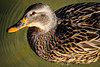 Take a look (Chiaro Chiari) Tags: anas platyrhynchos germano mallard wild duck papero animals animali nature natura italy italia water acqua lago laghetto lake eye occhio