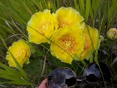 Opuntia - Michigan - Muskegon County (Mike's Mode (Miguel H.)) Tags: opuntia muskegon michigan yucca cactus