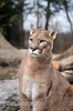 Smooth Criminal (montusurf) Tags: cougar mountain lion puma cat feline predator cincinnati zoo ohio nky