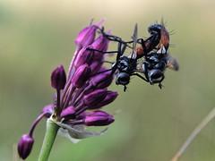 Plaisir estival... (Zagatop) Tags: macro faune flore fleurs flowers flower wildlife nature animaux été summer insect